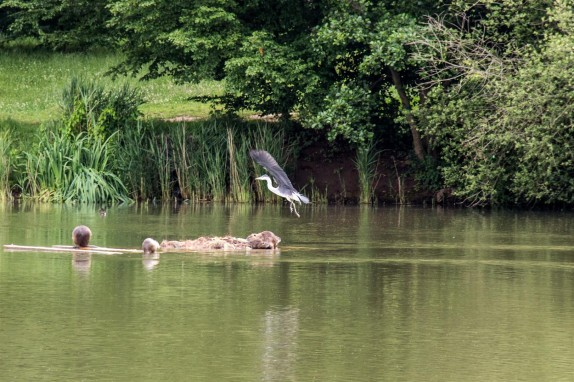 A heron coming in to land