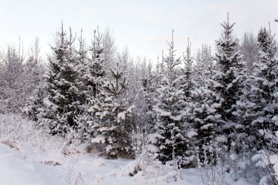 Swedish Countryside - Snow-covered trees